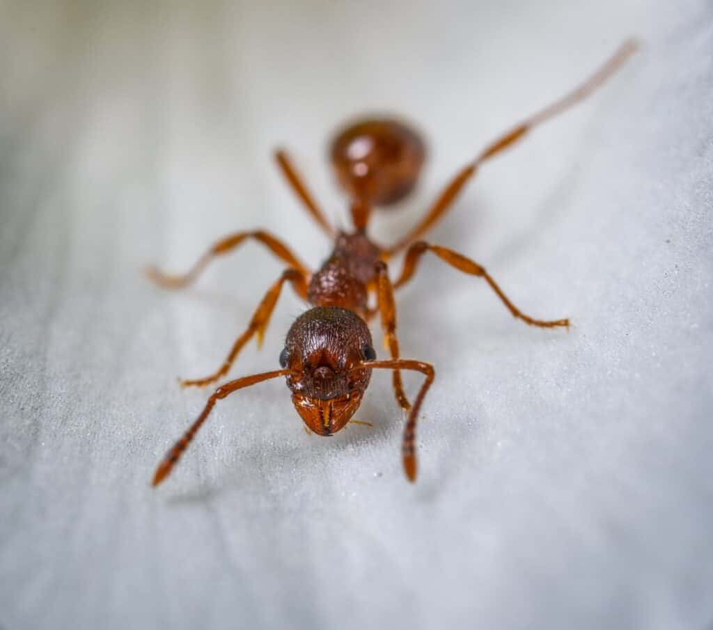 home remedies for ants- Red ant