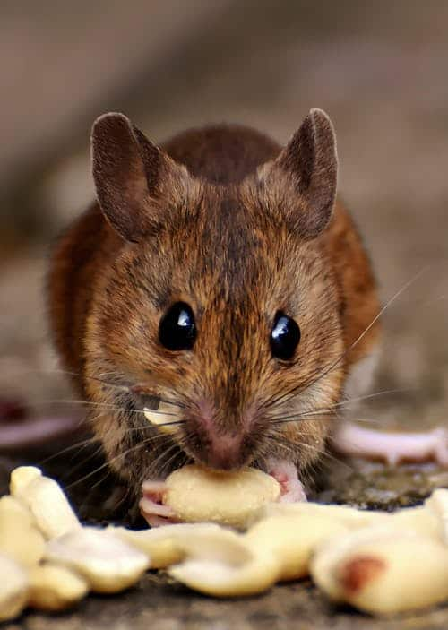 Get rid of mice- mouse eating